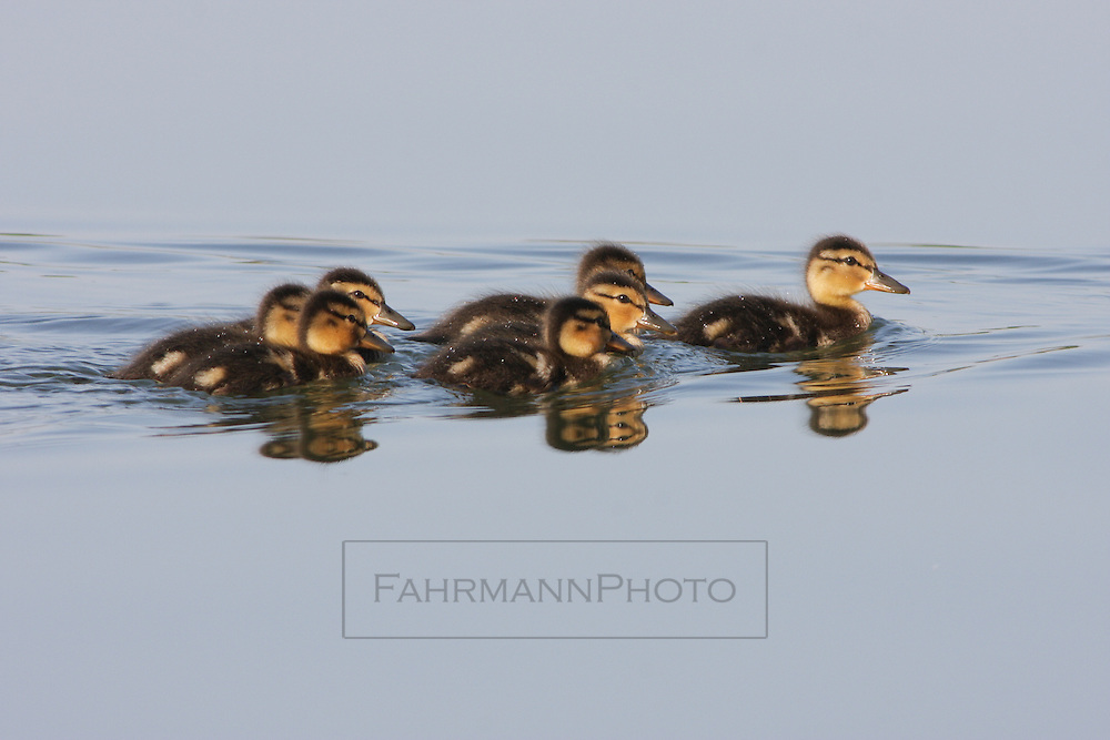 A group of ducklings trail their mother on Lake Nokomis