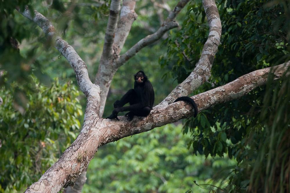 Mato Grosso, Brazil. October 2nd 2007.  Cristalino State Park. Black Spider Monkey (Ateles belzebuth marginatus). Brazilian: Macaco Aranha de Cara Branca.