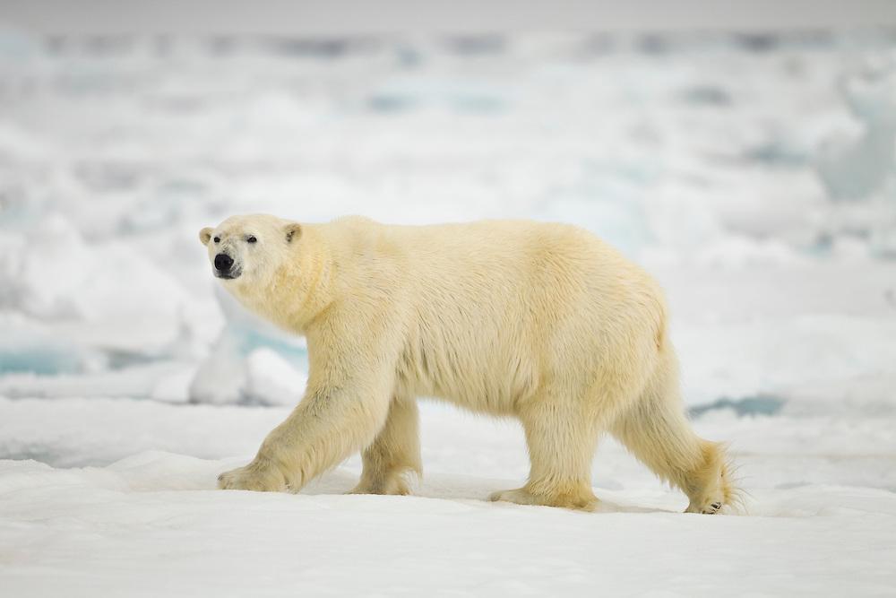 Norway, Svalbard, Nordaustlandet, Polar Bear (Ursus maritimus) walking across broken sea ice near Phippsøya (Phi's Island) on summer morning