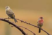 """Originally native to western states, the house finch was illegal introduced to the eastern states in North America, being released by pet breeders in the 1940s.  In the eastern states, they were known as """"Hollywood Finches"""".  While the male house finch has red on its head and breast and rump, the female has a streaked chest."""