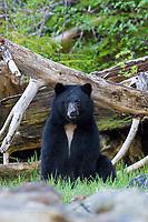Black bear on the West Coast of British Columbia