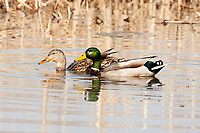 A hen and drake Mallard duck feeds on aquatic vegetation from the bottom of the wetland pond.