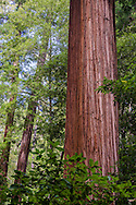 Redwood trees in forest, Big Basin State Park, Santa Cruz County, California