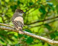 Eastern Phoebe. Image taken with a Fuji X-T2 camera and 100-400 mm OIS lens (ISO 200, 400 mm, f/11, 1/60 sec).
