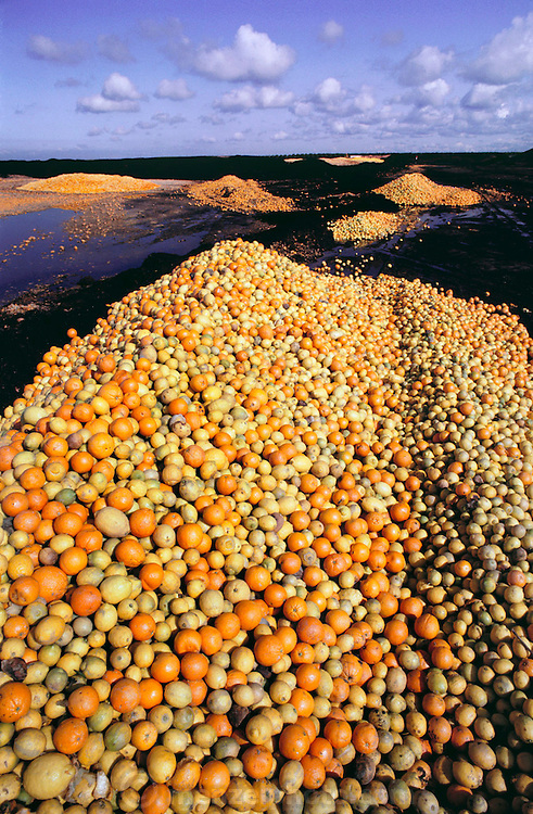 Surplus oranges and lemons are chopped up and dried in the sun for cattle feed by the Sungro Company on an old airfield runway in Famoso, California, USA. Don Smith's cattle feed drying lot.