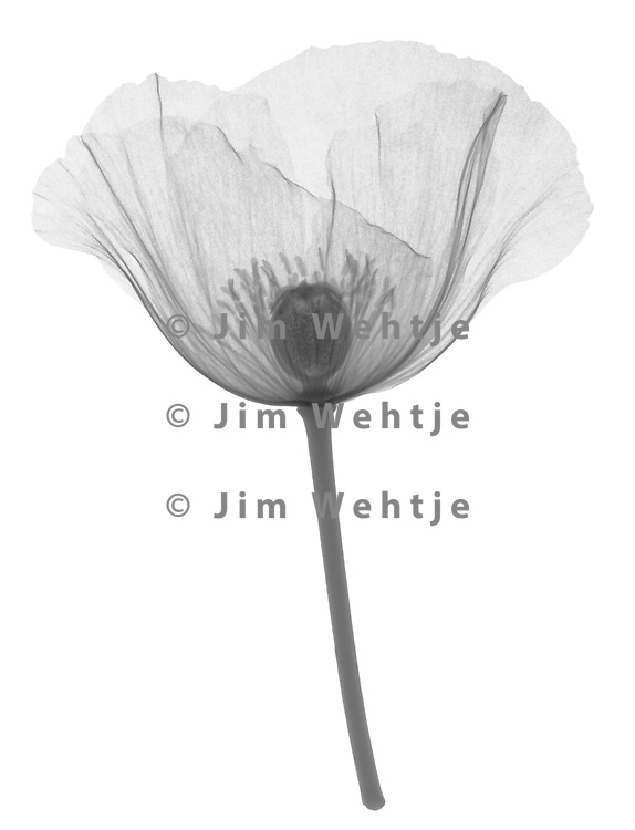X-ray image of an opium poppy flower, lateral view (Papaver somniferum, black on white) by Jim Wehtje, specialist in x-ray art and design images.