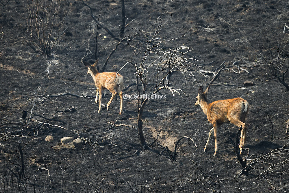 A mother deer and her baby make it up a scorched hill off Green Lake Road in Okanogan Saturday August 22, 2015 after wildfire tore through the area.<br />