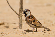 House Sparrow (Passer domesticus biblicus) on a rock, negev desert, israel