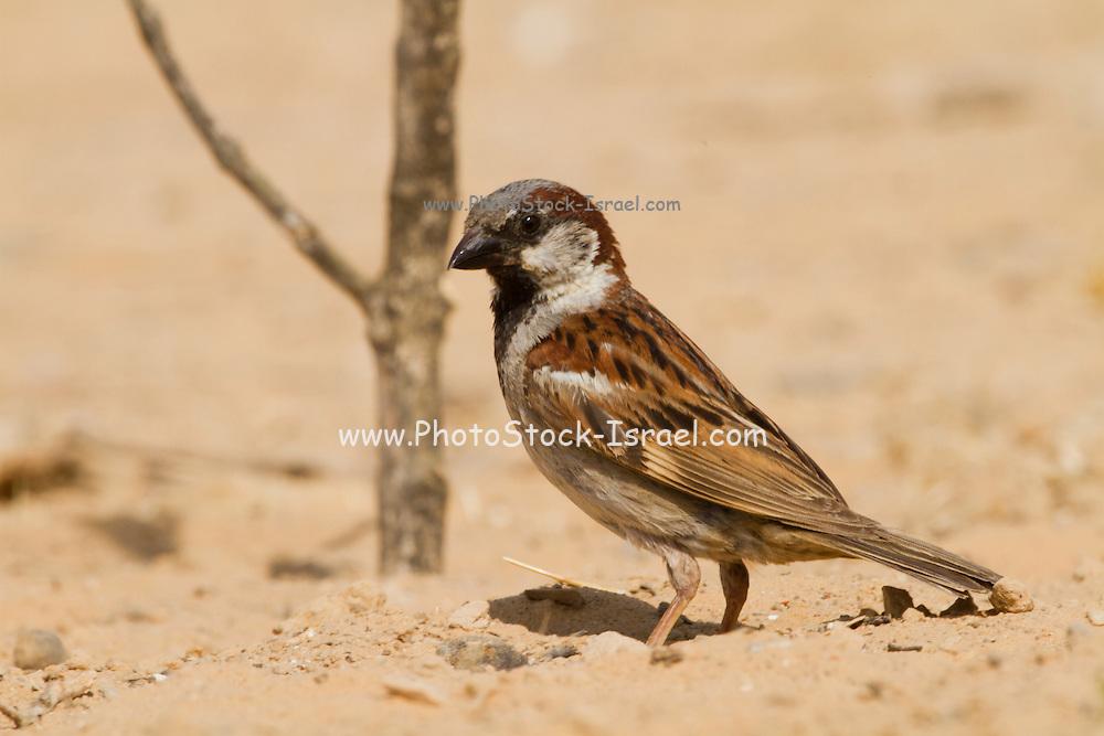 House Sparrow (Passer domesticus biblicus) on a rock, negev desert, israel