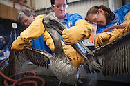 An adult Brown Pelican covered with oil found on Grande Isle, Louisiana being cleaned at Fort Jackson by a team from Tri-State Bird Rescue and Research, Inc. hired by B.P. to rescue animals effected by the oil spill while Secretary of the Interior,Secretary Salazar looks on.