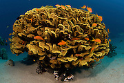 Israel, Eilat, Red Sea, - Underwater photograph of a Sea goldies (AKA lyretail coralfish, lyretail anthias, scalefin anthia, goldfish) Pseudanthias squamipinnis and a coral