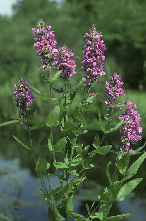 PURPLE-LOOSESTRIFE Lythrum salicaria (Lythraceae) Height to 1.5m. Upright, downy perennial of damp habitats such as riverbanks and fens. FLOWERS are 10-15mm across, reddish purple and 6-petalled; borne in tall spikes (Jun-Aug). FRUITS are capsules. LEAVES are 4-7cm long, narrow, unstalked and borne in opposite pairs. STATUS-Widespread and locally common, except in the N.
