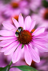 Bee on Echinacea purpurea 'Magnus'<br /> Coneflower