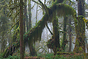 A pristine rainforest ecosytem example on the western side of the Olympic Peninsula, WA State