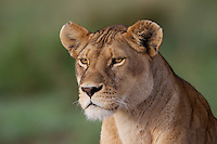 Lioness (Panthera leo) watching for prey, Serengeti