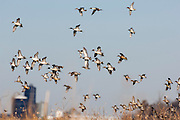 Northern Pintails, Anas acuta, Green-winged Teal, Anas carolinensis, Gadwall, Anas strepera, Clay County, Nebraska