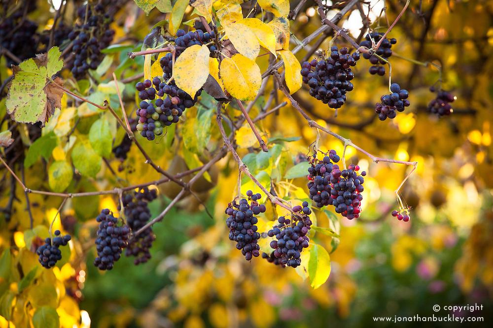 Grapevine growing over a pear tree in autumn colour. Vitis vinifera 'Incana' - Dusty Miller grape
