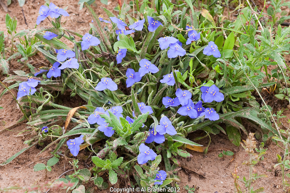 Prairie Spiderwort (Tradescantia occidentalis), Waller County, Texas