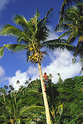 Man climbing coconut tree, Upolu, Samoa<br />
