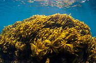 Kelp covered rock, at Arid Island. Great Barrier Island.