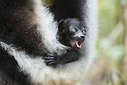 Indri <br /> Indri indri<br /> 5 week old infant<br /> East Coast of Madagascar