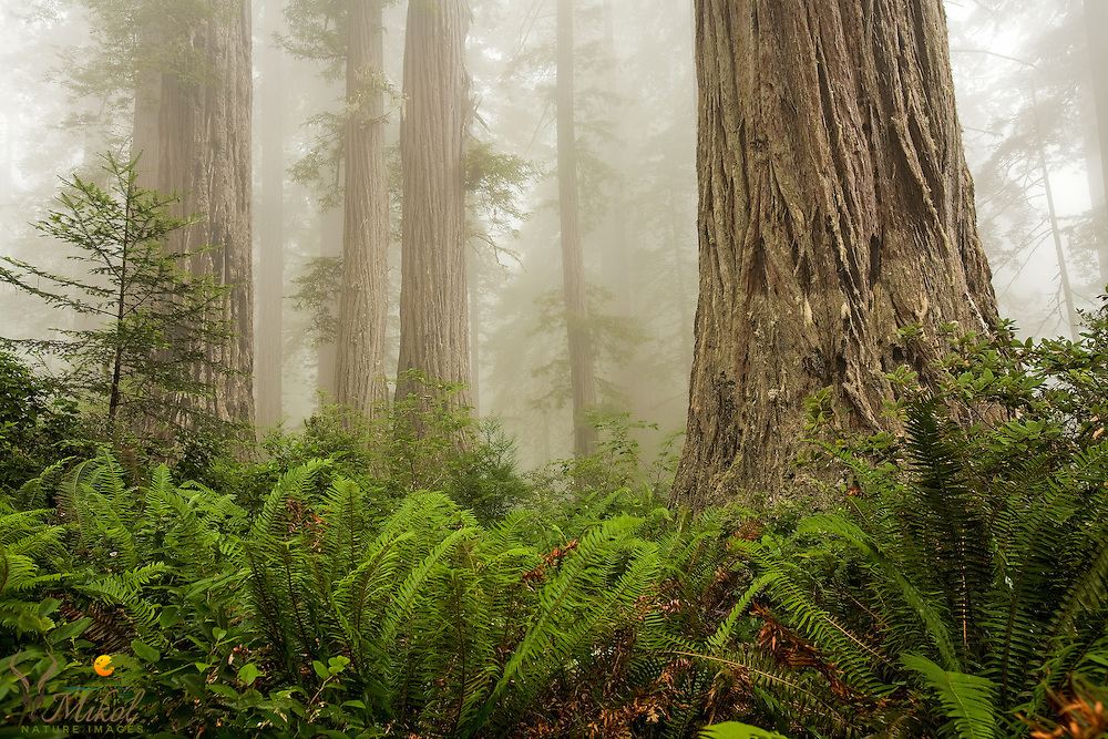 Redwoods trees, Ferns and fog. Lady Bird Johnson Grove