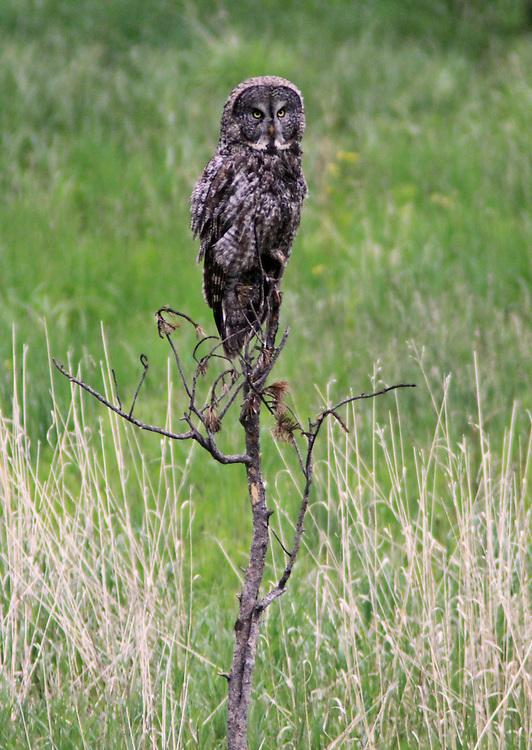Great Gray Owl, Northern Yellowstone