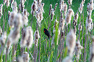 Red-winged Blackbird (Agelalus phoeniceus) in the Cattails at Elgin Heritage Park in Surrey, British Columbia, Canada