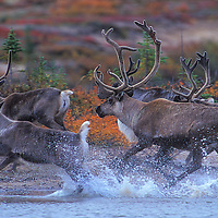 Caribou herd crossing the Thelon River in Northwest Territories Canada.