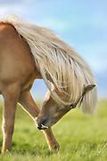 Icelandic Horse eating grass. Artphoto-Painteffect added | Islandshest som eter grass. Fotokunst-malerisk effekt lagt til.