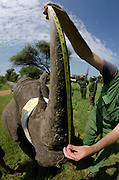 White Rhinoceros (Ceratotherium simum) darted for relocation. With Conservation Solutions Kester Vickery measuring the horn<br /> Private Game Reserve<br /> SOUTH AFRICA<br /> RANGE: Southern &amp; East Africa<br /> ENDANGERED SPECIES