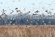 Mallards, Anas platyrhynchos, Shiawassee NWR, Saginaw County, Michigan