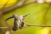 Anna's Hummingbird (Calypte anna) - perched in La Mesa, CA