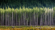 Rows of Trees stand before cleared land on Vancouver Island, Canada