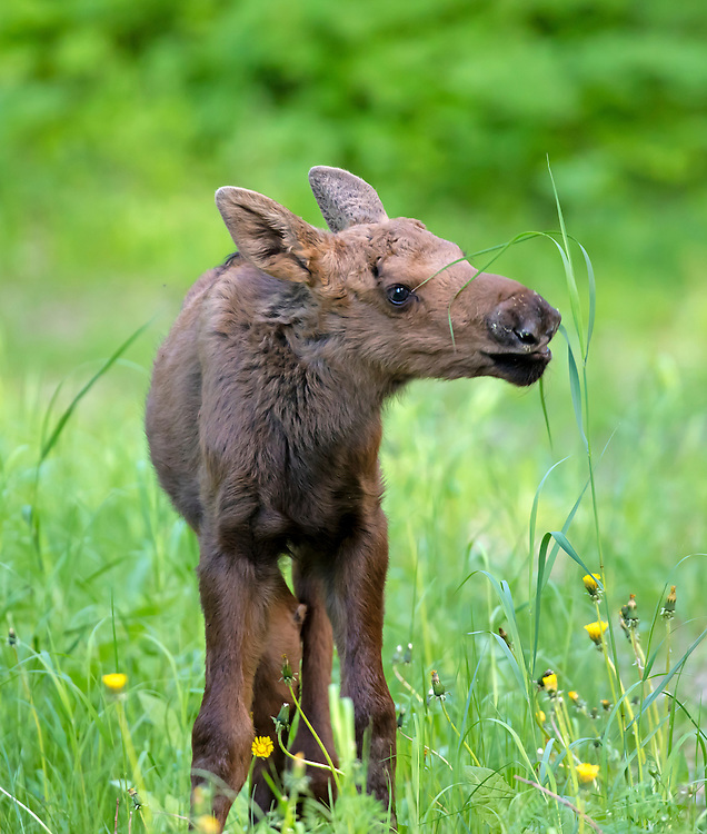 Alaska; Moose calf (Alces alces) eating grass, Kincaid Park, Anchorage..