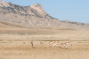 Herd of pronghorn in Wyoming