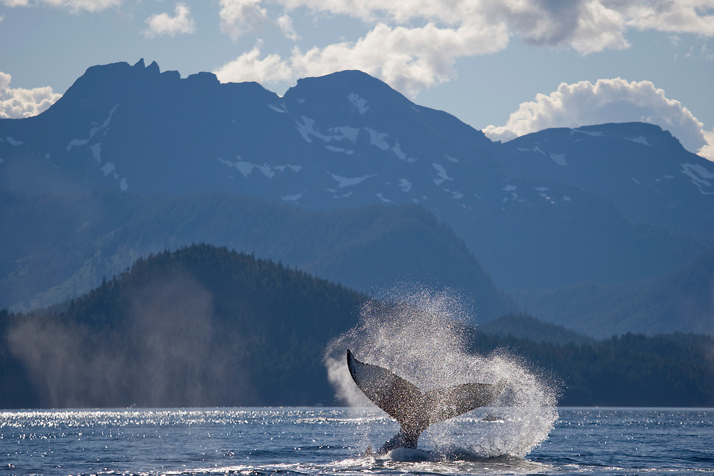 USA, Alaska, Angoon, Humpback Whale (Megaptera novaengliae) slapping tail in Chatham Strait on summer afternoon