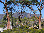 See Cathedral Mountain and snow gum trees (eucalyptus) along the Overland Track, in Cradle Mountain-Lake St Clair National Park, Tasmania, Australia. The Tasmanian Wilderness was honored as a UNESCO World Heritage Site in 1982, expanded in 1989. The famous Overland Track features mountains, temperate rainforest, wild rivers, alpine plains, abundant birds, and other wildlife. Mostly native to Australia where they dominate the tree flora, Eucalyptus is a diverse genus of flowering trees (and a few shrubs) in the myrtle family, Myrtaceae. Many are known as gum trees because of copious sap exuded from any break in the bark. The Snow Gum (Eucalyptus pauciflora) is a small tree or large shrub native to eastern Australia. It is usually found in the subalpine habitats of eastern Australia. Snow Gums also grow in lowland habitats where they can reach heights of up to 20 metres, although specimens over 15 metres are found at high elevations in the Victorian Alps. Lowland Snow Gum is sometimes known as White Sallee, Cabbage Gum or Cabbage Ash. The bark of Eucalyptus pauciflora is smooth and white to light grey or sometimes brown-red, shedding in patches or strips to give a mottled appearance.