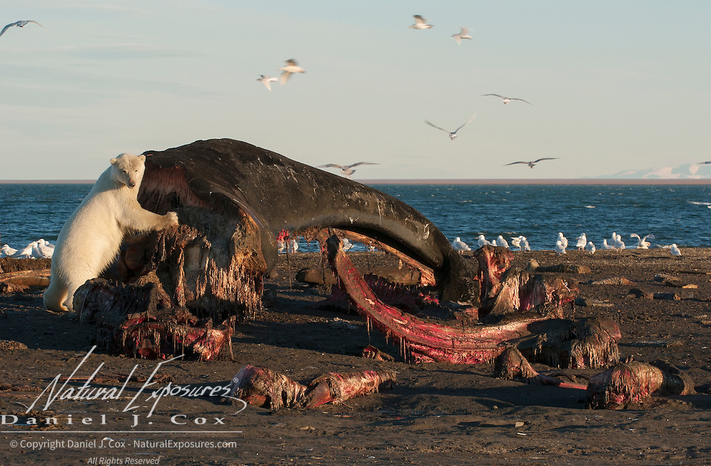 Polar bear (Ursus maritimus) feeding on the carcass of a bowhead whale.(Balaena mysticetus) Alaska.