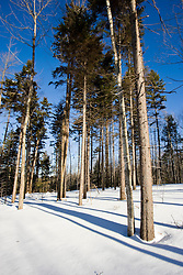 Spruce trees and snow in Groton, New Hampshire.  Near Groton Hollow Road.