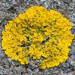 Lichen on rock at Wonderland in Maine's Acadia National Park.