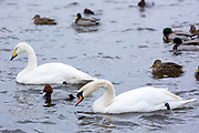 Whooper Swan, Cygnus cygnus and Mute Swan, Cygnus olor, with Pochard and Mallard ducks, at Welney Wetland Centre, Norfolk, UK