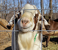 Cornwall, New York - Henry, a Boer goat, pokes his nose through a fence at Edgwick Farm on Feb. 4, 2012. ©Tom Bushey / The Image Works