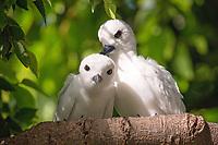 A pair of white tern (Gygis alba), or manu-o-Ku in Hawaiian. The official bird of Honolulu. Photographed at Kapiolani Regional Park in Honolulu, Hawaii.