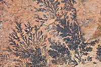 These fern-like structures look like and are often mistaken for fossils.  In reality, they are dentrite deposits of manganese oxide which penetrates between layers of sedimentary formations like sandstone and limestone during periods of flooding.