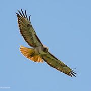 Red Tail Hawk, Point Reyes National Seashore, California