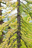 A young Larch tree closeup.  North Cascades, Washington, USA.