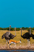 Ostriches and springbok at a watering hole, Nxai Pan National Park, Botswana.