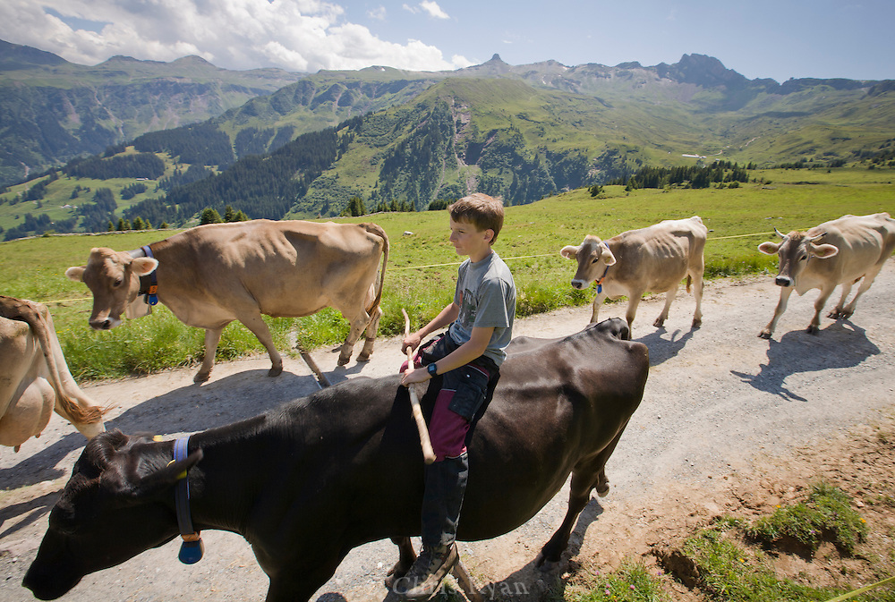 Boy farmer driving cattle in the Swiss Alps, Flumserberg, Sarganserland, Switzerland
