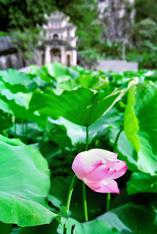 A lotus flower in a pond in Tam Coco national park, near Nimh Binh, a couple hours from Hanoi, Vietnam, 213.